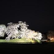 花見ライトアップ_s