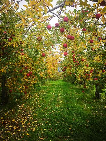 りんご畑002_s