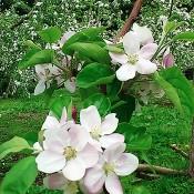 りんごの花001_s