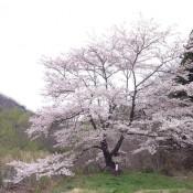 桜だより4/21