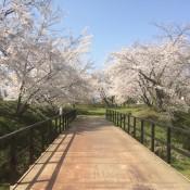 桜だより4/25