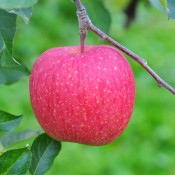 「金田一温泉観光りんご園収穫祭」・「金田一温泉アップルロードレース2016」のお知らせ ~終了しました~