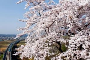 桜前線が北上中です♪