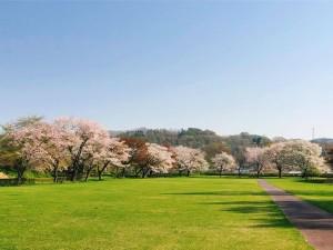 二戸の桜、まだまだ見ごろの場所もあります。