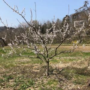 杏はたくさん咲いていました。