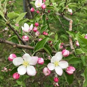 りんごの花が咲いてしまった