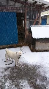 久慈ファーム軽米農場では、雨が雪にかわりました。