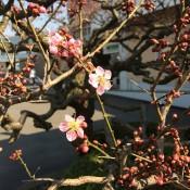 六弁の梅が咲き始めました