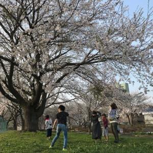 一気に桜が咲いて満開になった🌸